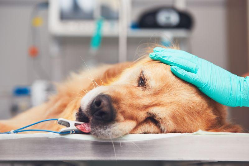 nowotwór u psa